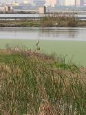 Garza real en un campo inundado. Foto realizada desde carretera Alfafar.